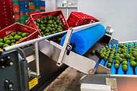 Avocados are seen moving down a conveyor belt during the cleaning process at a processing plant in Sonsón, Antioquia department, Colombia, 22 October 2019. Over the past decade, the Colombian avocado industry has experienced massive growth, both as a result of general economic development in Colombia, and the increased global demand for so-called superfood products. The geographical and climate conditions in Antioquia (high altitude, no seasonal extremes, high precipitation rate) allow two harvest windows of the Hass avocado variety across the year. Although the majority of the Colombian avocado exports are destined towards Europe now, Colombia aspires to become one of the major avocado suppliers to the U.S. market in the near future.