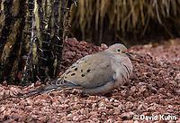 0724-1005  Mourning Dove in Arizona Desert, Zenaida macroura  © David Kuhn/Dwight Kuhn Photography