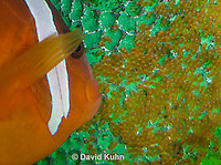 0322-1112  Tomato Clownfish Tending Eggs, Amphiprion frenatus  © David Kuhn/Dwight Kuhn Photography