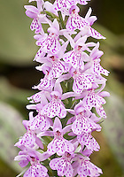 The Heath Spotted Orchid or Moorland Spotted Orchid Dactylorhiza maculata hardy orchid species