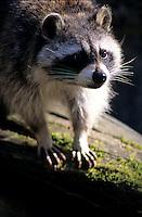 Wasbeer (Procyon lotor)