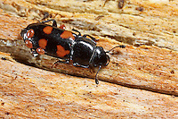 Vierfleckiger Kiefernglanzkäfer, Glischrochilus quadripunctatus, Glischrochilus quadripustulata, European bark beetle predator, picnic beetle, beer bug, Glanzkäfer, Nitidulidae, pollen beetles