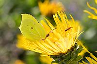 Zitronenfalter, Zitronen-Falter, Männchen, Blütenbesuch an Alant, Corydalis, Gonepteryx rhamni, brimstone, brimstone butterfly, male, Le Citron