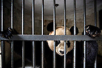 A captive born panda waits to be fed in its enclosure at the Hetaoping Panda Conservation Centre. The researchers wear the panda costumes to prevent the captive born pandas from becoming accustomed to humans.