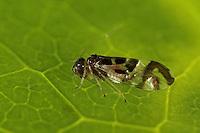 Rindenlaus, Staublaus, Graphopsocus cruciatus, Stenopsocus cruciatus, Bark louse, Barklouse, Staubläuse, Rindenläuse, Stenopsocidae, Psocoptera, Barklice