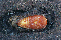 Maikäfer, Puppe im Boden, Gemeiner Maikäfer, Feld-Maikäfer, Feldmaikäfer, Mai-Käfer, Melolontha melolontha, maybeetle, may-beetle, common cockchafer, maybug, pupa, pupae