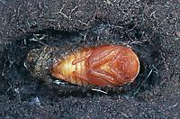 Maikäfer, Puppe im Boden, Gemeiner Maikäfer, Feld-Maikäfer, Feldmaikäfer, Mai-Käfer, Melolontha melolontha, maybeetle, may-beetle, common cockchafer, maybug, pupa, pupae
