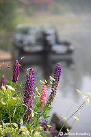Lupins with Lund Boat in Background