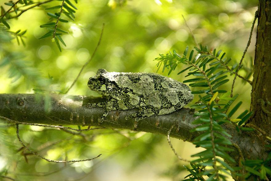 Hyla versicolor, or the grey tree frog, well hidden in a hemlock tree.