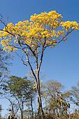 Nova Brasilandia, Brazil. Ipe Amarelo tree.