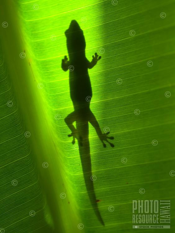 The shadow of a gecko on the broad leaf of a banana tree, Big Island.