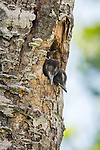 Northern flicker nestlings