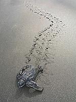leatherback sea turtle hatchling, Dermochelys coriacea, making its way to the sea, Dominica, Caribbean, Atlantic Ocean