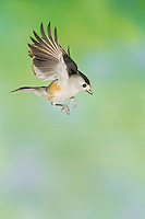 Black-crested Titmouse, Baeolophus atricristatus, adult in flight, New Braunfels, Hill Country, Texas, USA, November 2005
