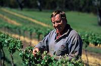 Océanie/Australie/Australie Méridionale/Clare Valley/Env de Sevenhill : Vignoble Pauletts - Neil Paulett inspecte ses vignes en fleurs [Non destiné à un usage publicitaire - Not intended for an advertising use]