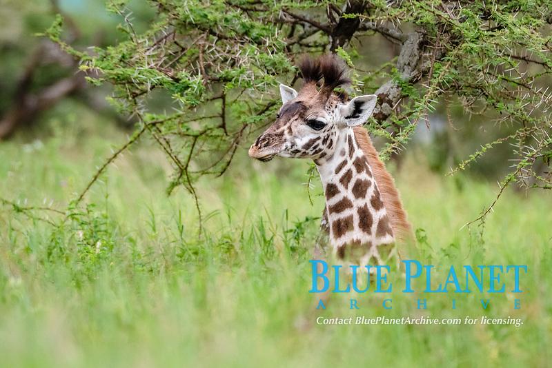 Masai giraffe (Giraffa camelopardalis tippelskirchii), calf, Ndutu, Ngorongoro Conservation Area, Serengeti, Tanzania, Africa