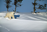 Polar bear cub, Canada