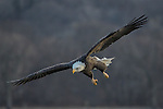 Adult Bald Eagle drops out of the sky for a fish in the river