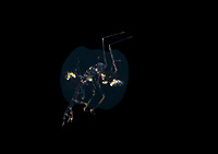 deep sea hyperiid amphipod, Phronima sp., guarding babies in a salp, photographed during a blackwater drift dive in open ocean at 20-40 feet with bottom at 500 plus feet below, Palm Beach, Florida, USA, Atlantic Ocean