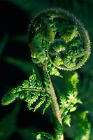 Detail of a fern frond in the process of unfurling