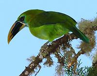 Southern emerald toucanet