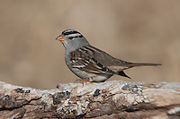 White-crowned Sparrow (Zonotrichia leucophrys) standing on a downed tree branch