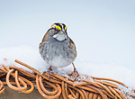 White throated sparrow in winter.