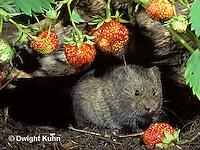 MU30-156z   Meadow Vole - eating strawberries - Microtus pennsylvanicus
