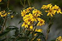 Flourensia thurifera, Maravilla del Campo flowering Chilean shrub in Fullerton Arboretum, Southern California
