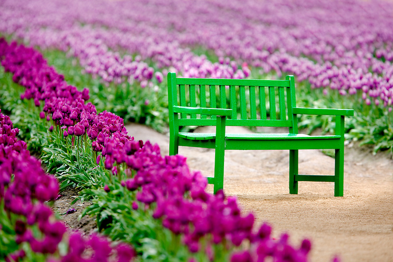 Green bench in tulip field. Wooden Shoe Tulip Farm. Oregon Tulip Farm Oregon