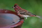 Purple finch perched on a bird bath