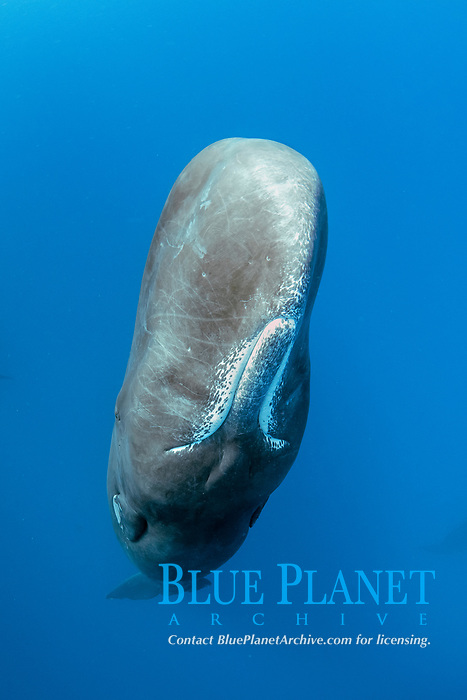 Sperm whale, Physeter macrocephalus, The sperm whale is the largest of the toothed whales Sperm whales are known to dive as deep as 1,000 meters in search of squid to eat Image has been shot in Dominica, Caribbean Sea, Atlantic Ocean Photo taken under permit #RP 16-02/32 FIS-5