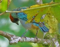 Scrub tanager