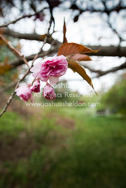 Magnolia tree flowers