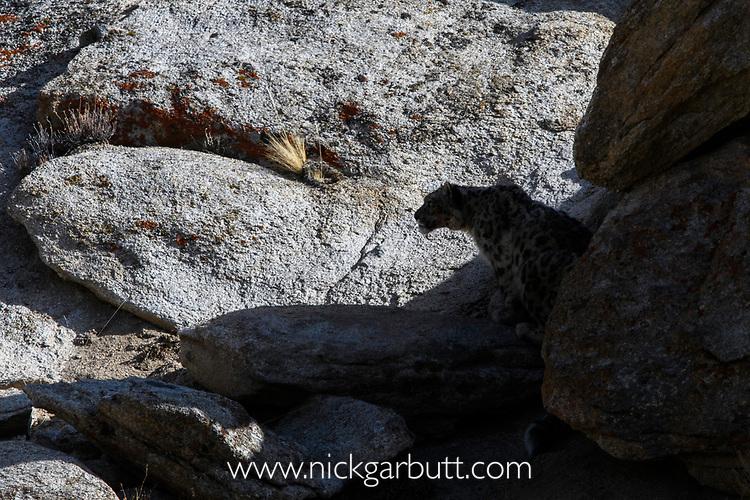 Silhouette of wild snow leopard (Panthera uncia)(sometimes Uncia uncia) resting in shaded rocks. Ladakh Range, Western Himalayas, Ladakh, India.