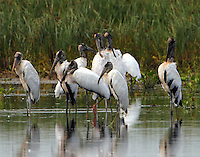 Wood storks. The adult birds have bare necks and dark bills. The immature bird on the left has a fuzzy neck and head and a pinkish bill.