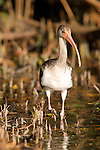 Ding Darling National Wildlife Refuge, Sanibel Island, Florida; an immature White ibis (Eudocimus albus) bird foraging for food in the shallow water at the edge of the mangroves © Matthew Meier Photography, matthewmeierphoto.com All Rights Reserved