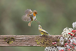 Robin and greenfinch do battle by Paul Sawer