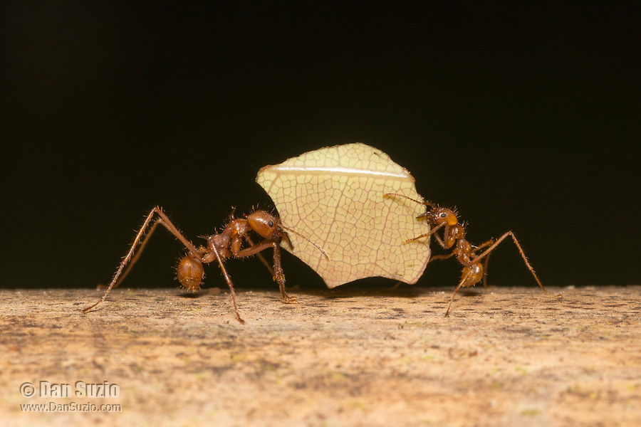 Leafcutter Ants, Atta cephalotes, carry a piece of leaf to their nest. Sarapiquí, Costa Rica