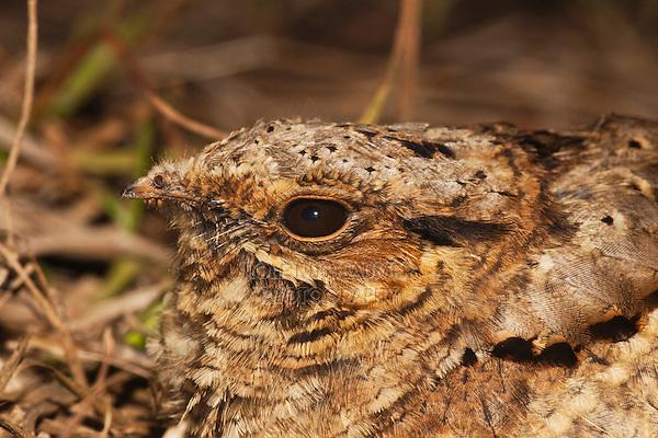 Common Pauraque (Nyctidromus albicollis), adult on nest, Sinton, Corpus Christi, Coastal Bend, Texas, USA