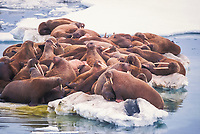 walrus, Odobenus rosmarus, on the pack ice of the Bering sea in Alaska, view from above animals, aerial images, Arctic