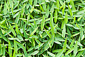 Arthraxon, commonly known as carpetgrass, early July.