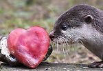 Otters at Marwell Zoo given Valentines Day treats