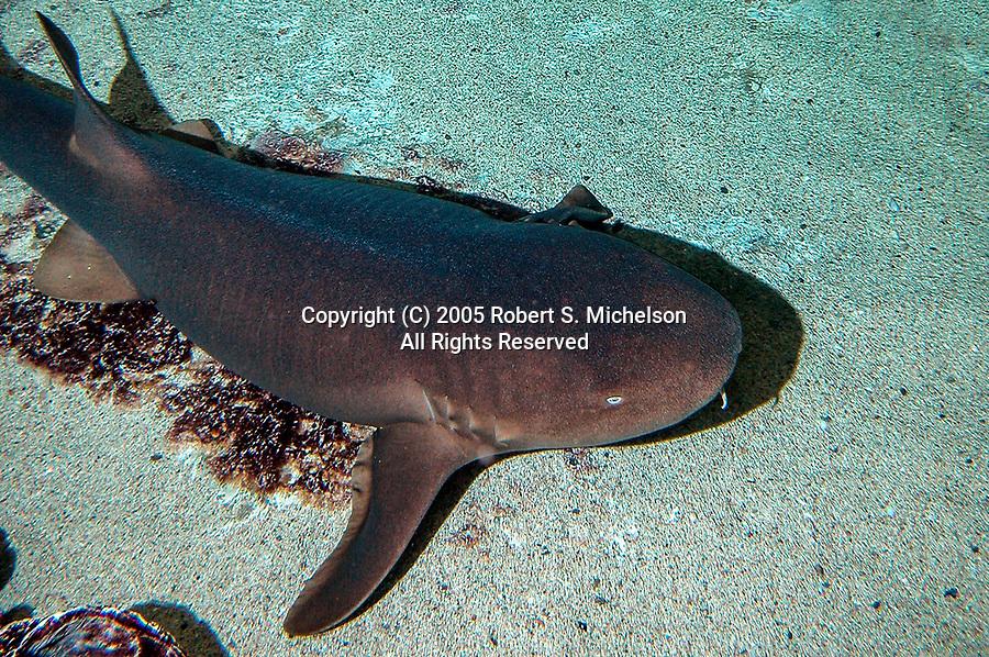 Nurse shark 3/4 shot resting on coarse sand bottom facing right