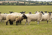 14-10-2021 Pedigree Suffolk ram running with Mule ewes <br />  ©Tim Scrivener Photographer 07850 303986<br />      ....Covering Agriculture In The UK....