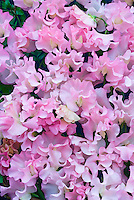 Lathyrus odoratus 'Colleen Mary' (new release 2007) pale pink sweetpeas flowers full frame of many blooms
