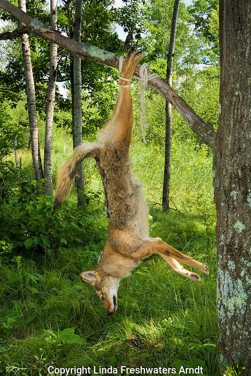 Harvested coyote