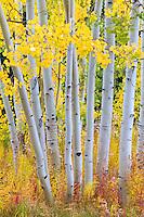 Autumn foliage near Aspen, Colorado.<br /> <br /> Canon EOS 5D Mk II, 70-200 f/2.8L lens