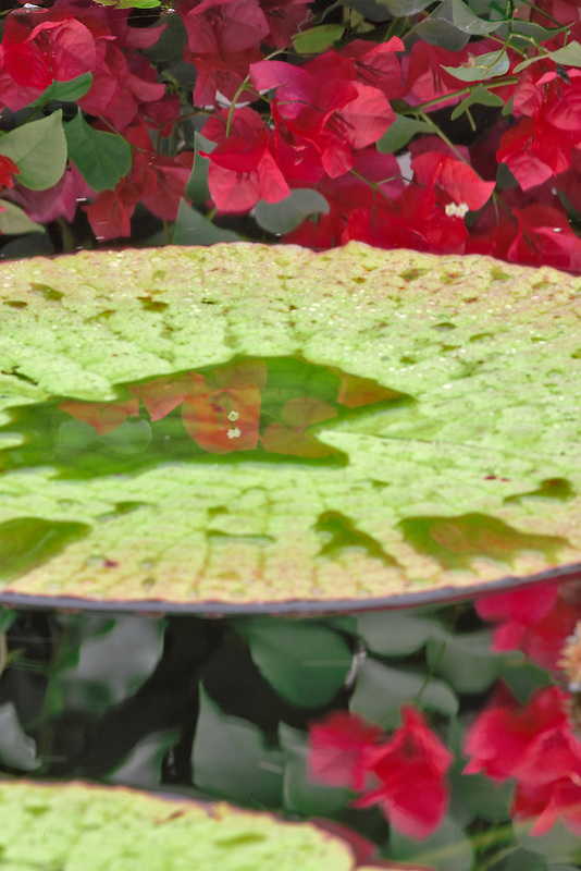 Amazon Water Lily leaves with reflected boganvia. Hughes Water Gardens. Oregon