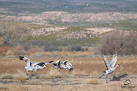 Sandhill Cranes (Grus canadensis) left their perch on a small hill, to take off from the ground. We had gotten so used to pond takeoffs that this seemed a little different. Bosque del Apache National Wildlife Refuge, New Mexico.
